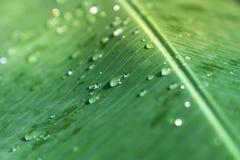 Goccia di pioggia molle selettiva del fuoco del primo piano sulla spuma verde della foglia della banana immagine stock