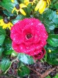 Goccia di pioggia Rosa fotografia stock libera da diritti