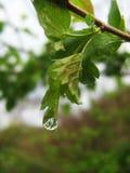 Goccia di pioggia su una foglia Immagine Stock