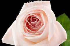 Goccia di Rosa Fotografie Stock