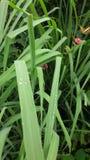Goccia di rugiada naturale dopo pioggia sulla foglia verde Fotografia Stock