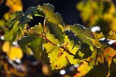 Goccia di rugiada su una foglia dell'uva Immagini Stock Libere da Diritti