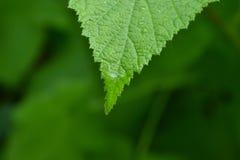 Goccia di rugiada su una foglia verde Immagine Stock