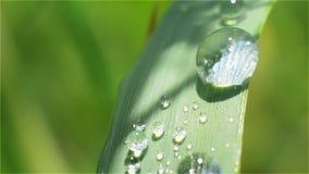 Goccia di rugiada su una lama di verde del primo piano dell'erba video d archivio