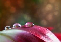 Goccia di rugiada sul tulipano Immagini Stock