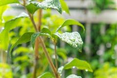 Goccia di rugiada sulle foglie verdi di mattina Fotografia Stock