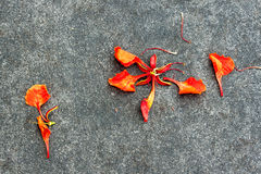Goccia Flam-boyant del petalo del fiore sulla terra Immagini Stock Libere da Diritti