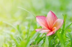 Goccia rosa di plumeria su erba Fotografie Stock