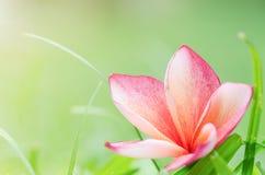 Goccia rosa di plumeria su erba Fotografia Stock