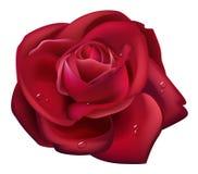 Goccia rossa dell'acqua e della Rosa Fotografia Stock