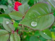 Goccia su Rose Leaf Immagine Stock Libera da Diritti