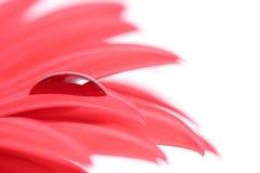 Goccia sul petalo del fiore immagine stock