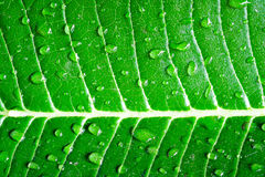 Goccia sulla foglia verde Immagini Stock Libere da Diritti