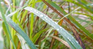 Goccia sulle foglie della citronella Fotografia Stock