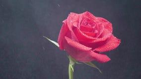 Gocciolamenti dell'acqua su una rosa girante rossa sopra fondo nero e fumoso archivi video