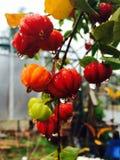 Gocciolamento delle ciliege di Surinam bagnato immagine stock libera da diritti
