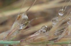 Gocciolina di acqua dell'erba di pampa Fotografia Stock