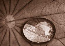 Gocciolina di acqua nella seppia Fotografie Stock