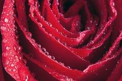 Goccioline del petalo di Rosa Fotografie Stock