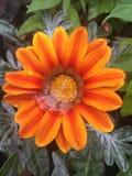 Goccioline della pioggia sui petali arancio del fiore
