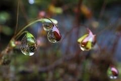 Goccioline di acqua alle punte dei semi del muschio fotografia stock libera da diritti