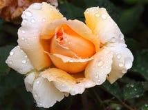 Goccioline di acqua di rose dell'albicocca Fotografia Stock Libera da Diritti