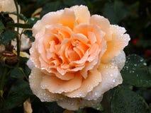 Goccioline di acqua di rose dell'albicocca Fotografia Stock