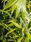 Goccioline di acqua glassate sulle foglie verdi immagine stock libera da diritti