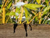 Goccioline di acqua glassate sulle foglie verdi fotografie stock libere da diritti