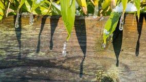 Goccioline di acqua glassate sulle foglie verdi fotografia stock