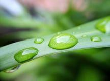 Goccioline di acqua sopra la erba cipollina immagine stock libera da diritti
