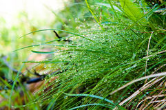 Goccioline di acqua su erba Immagine Stock