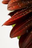 Goccioline di acqua su un girasole rosso Immagini Stock