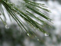 Goccioline di acqua sugli aghi del pino: Fotografia Stock Libera da Diritti