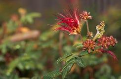 Goccioline di acqua sui fiori e sulle foglie della pianta dello spolveratore della piuma Fotografie Stock