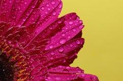 Goccioline di acqua sui petali di germini Fotografia Stock