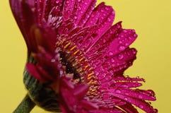 Goccioline di acqua sui petali di germini Fotografia Stock Libera da Diritti