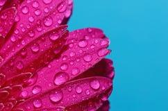 Goccioline di acqua sui petali di germini Immagine Stock Libera da Diritti