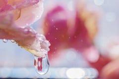 Goccioline di acqua sui petali di un fiore rosa alla luce solare luminosa immagine stock libera da diritti
