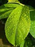 Goccioline di acqua sul foglio Fotografia Stock