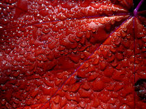 Goccioline di acqua sul foglio rosso Immagini Stock