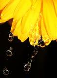 Goccioline di acqua sulla margherita gialla del gerber sul nero immagine stock