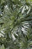Goccioline di acqua sulla pianta di giardino Fotografia Stock