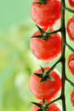Goccioline di acqua sulla pianta di pomodori fotografie stock