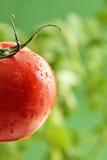 Goccioline di acqua sulla pianta di pomodori fotografia stock libera da diritti