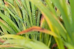 Goccioline di acqua sulle foglie dell'erba verde Fotografie Stock Libere da Diritti