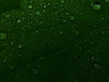 Goccioline di acqua sulle foglie di una pianta fotografie stock libere da diritti
