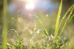 Goccioline di acqua sulle lame di erba nella rete del ragno e del sole Fotografia Stock Libera da Diritti