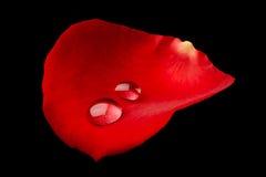 Goccioline su una rosa fotografia stock