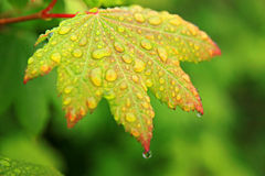 Goccioline su vegetazione verde fotografia stock libera da diritti
